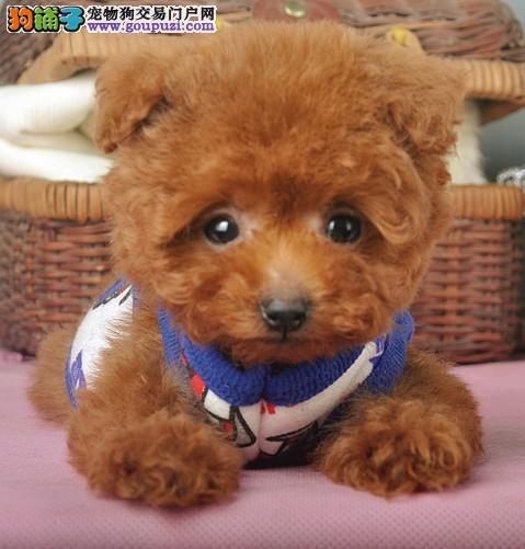 郑州精品韩系茶杯玩具型各色泰迪犬可上门选包健康签协