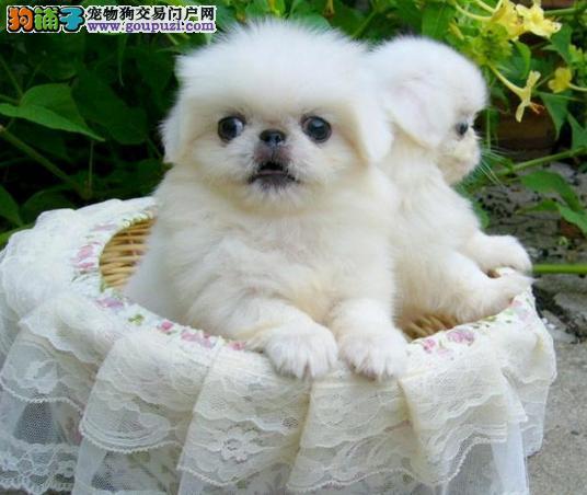 哪里出售正宗北京犬京巴幼犬很可爱迷人
