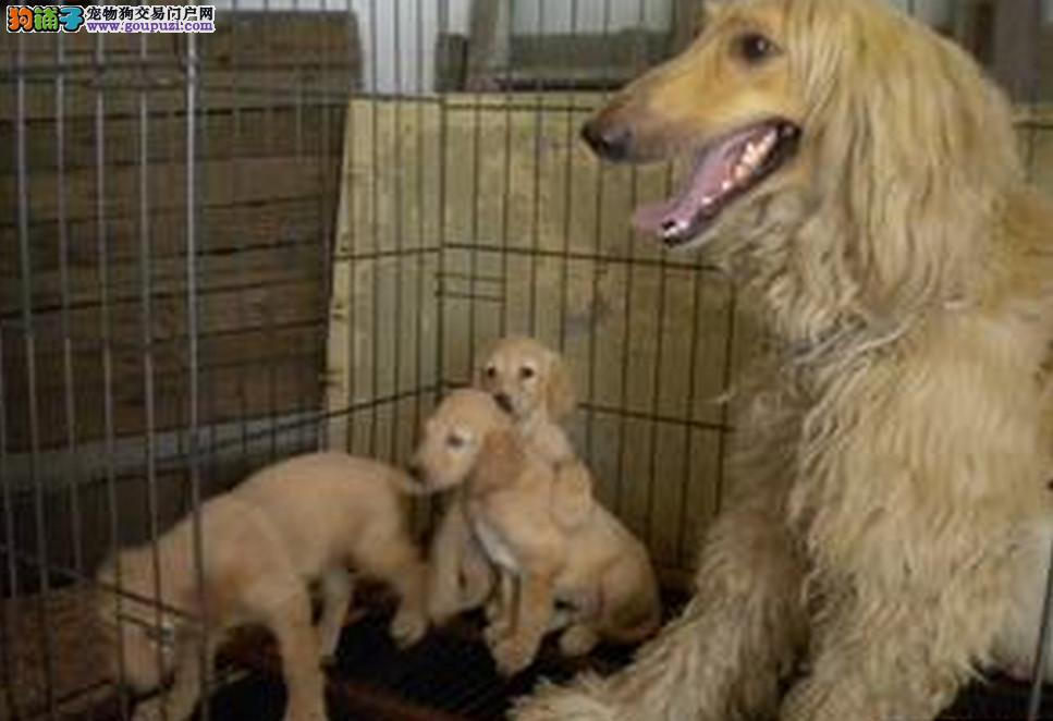 南宁正规狗场犬舍直销阿富汗猎犬幼犬可以送货上门