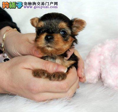 犬舍直销小体纯种约克夏幼犬公母都有 可签订活体协议