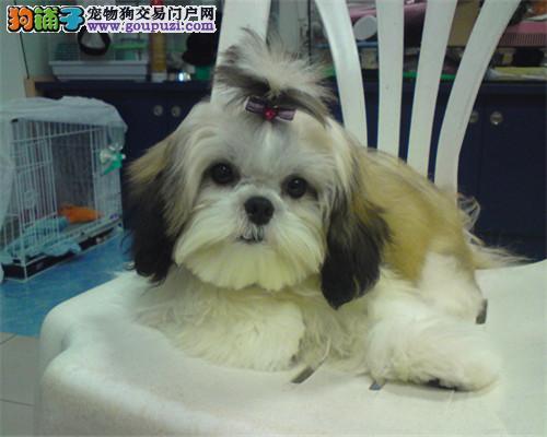 西施犬南京最大的正规犬舍完美售后微信视频看狗3