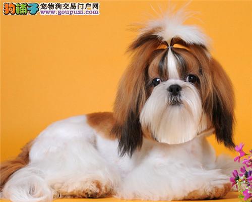 昌吉州出售一窝漂亮花色西施犬疫苗齐全包健康完美售后