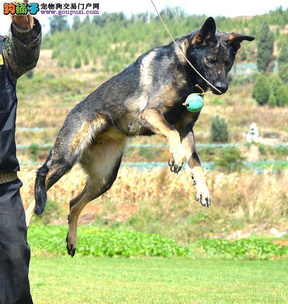 高品质昆明犬出售 可视频看狗 终身售后 带证书可刷卡