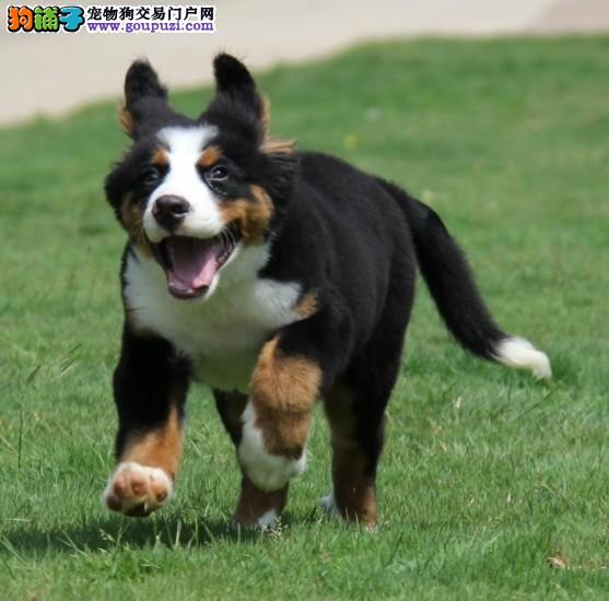 国际注册犬舍 出售极品赛级伯恩山幼犬一宠一证视频挑选