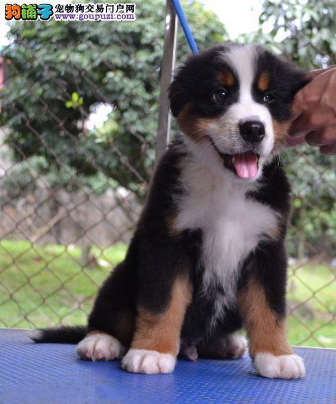 太原市出售伯恩山犬 包半年健康 全国包邮 签售后协议