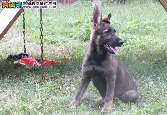 高品质犬幼犬,专业繁殖宝宝健康,可送货上门