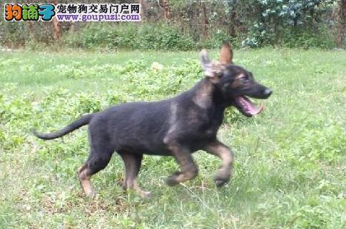 实物拍摄的成都昆明犬找新主人签署质保合同3