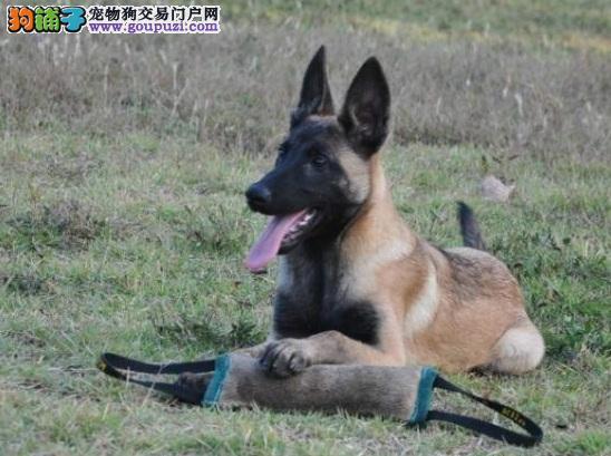 广州哪里有卖精品马犬签订正式协议 担保成活