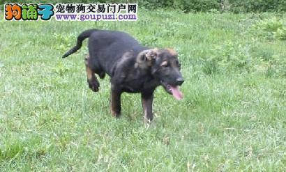 精品纯种成都昆明犬出售质量三包成都当地上门挑选