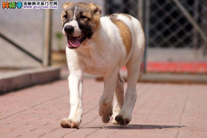 郑州出售颜色齐全身体健康中亚牧羊犬血统证书芯片齐全