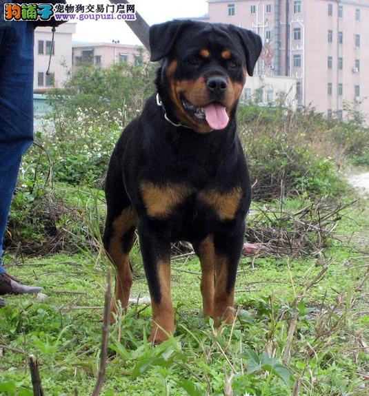 黄石出售自家繁殖猛犬护卫犬 罗威纳幼犬纯种有保障