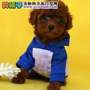 泰迪犬宝宝出售中 注射芯片颁发证书 寻找它的主人2
