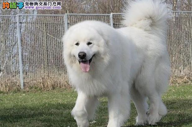 西安售纯种大白熊 大白熊犬幼犬公母全有可挑选2