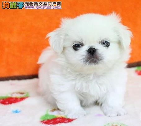 京巴幼犬出售中、品质优良血统纯正、可签保障协议