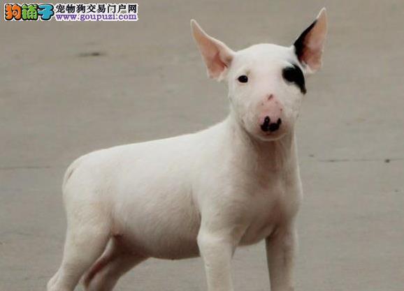 霸气外露顶级纯血牛头梗犬赠送户口多窝可挑八联疫苗齐