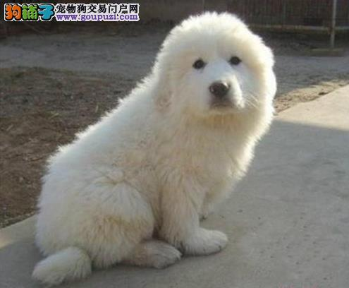 南京直销大白熊犬幼犬比利牛斯山地犬保健康