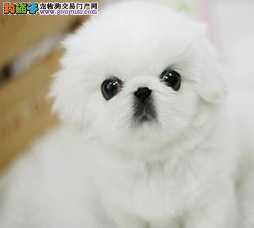 出售宫廷京巴纯种小型犬京巴