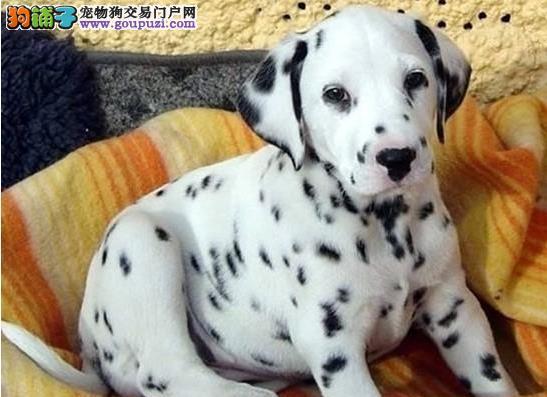 武汉精品高品质斑点狗幼犬热卖中真实照片包纯2