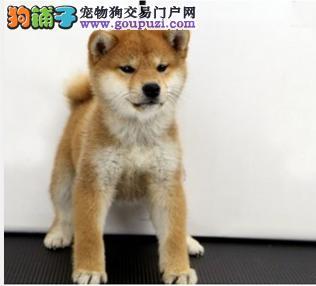 CKU纯种日本柴犬出售 多只可选 签协议 包健康3个月
