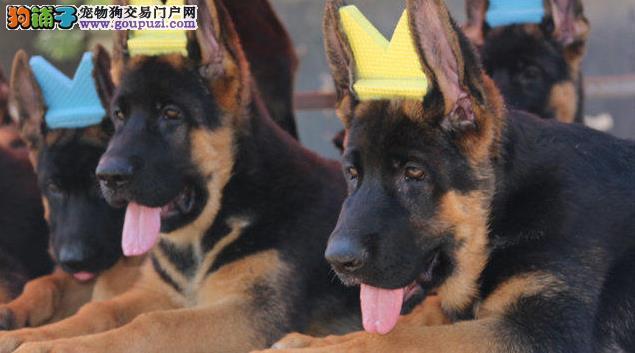 西宁市狼狗幼犬出售公母都有疫苗齐全免费饲养指导