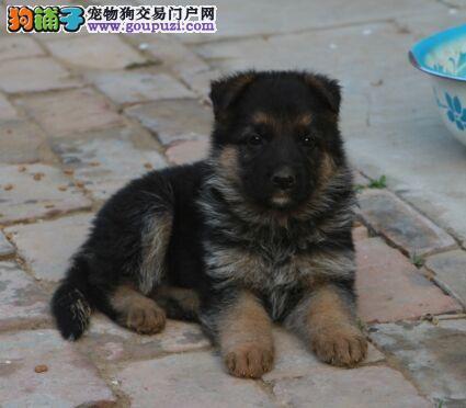 石家庄最大犬舍出售多种颜色昆明犬喜欢的别错过