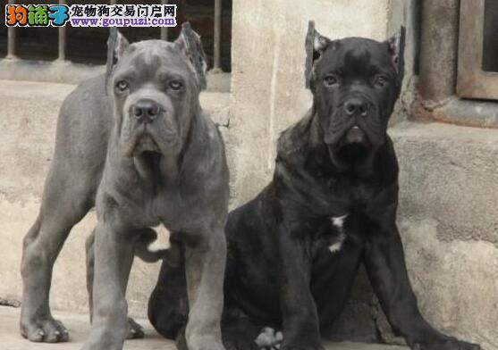 乌鲁木齐猛犬首领卡斯罗 品相极佳 卡斯罗幼犬低价出售