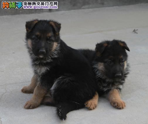 郑州繁殖基地出售多种颜色的昆明犬微信选狗直接视频2