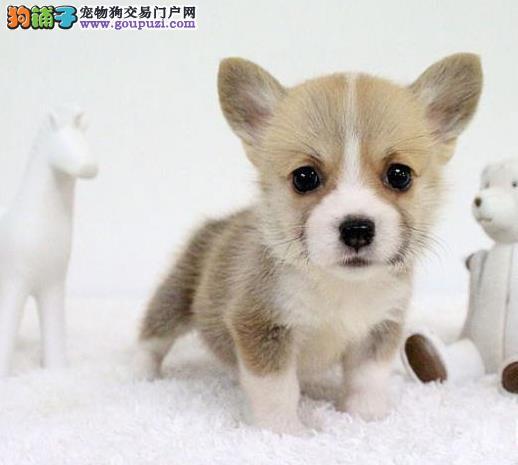 乐山精品纯种威尔士柯基犬热销中两色三色签合同有保障