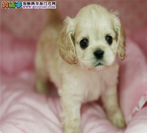 极品纯正的可卡幼犬热销中可签订活体销售协议