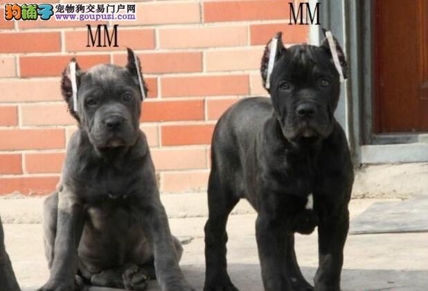 武汉犬舍直销高端纯血重头版大骨量卡斯罗幼犬价格优惠