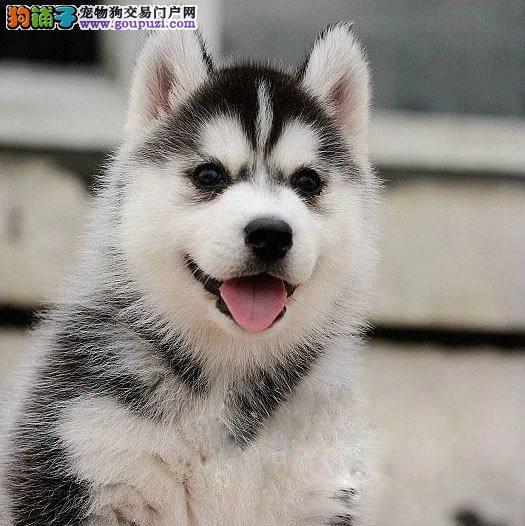 北京自家狗场繁殖哈士奇犬品质健康有保障签协议