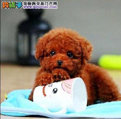 纯种棕红色泰迪犬 专业繁育 健康品质保障 可签协议