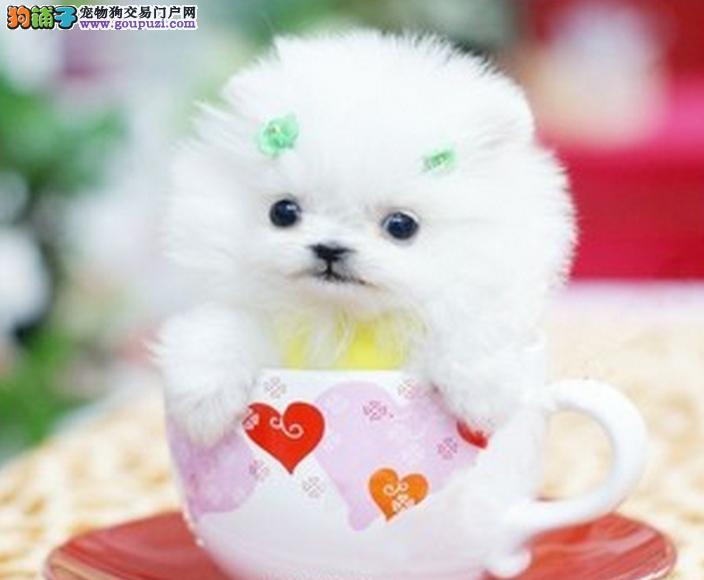 火爆出售血统纯正的茶杯犬市内免费送货