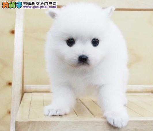 天津精心繁殖纯健康赛级西高地幼犬聪明活泼可爱签协议