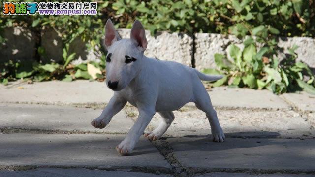 深圳哪里买牛头梗犬是最佳选择 纯种健康 华南总狗场
