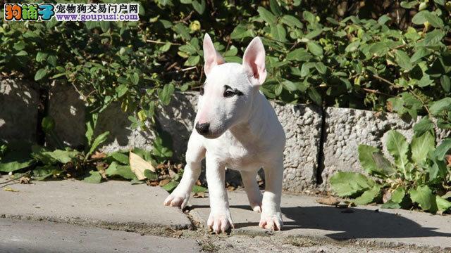 北京自家繁殖红雷哥同款迷你牛头梗犬随时可视频看狗