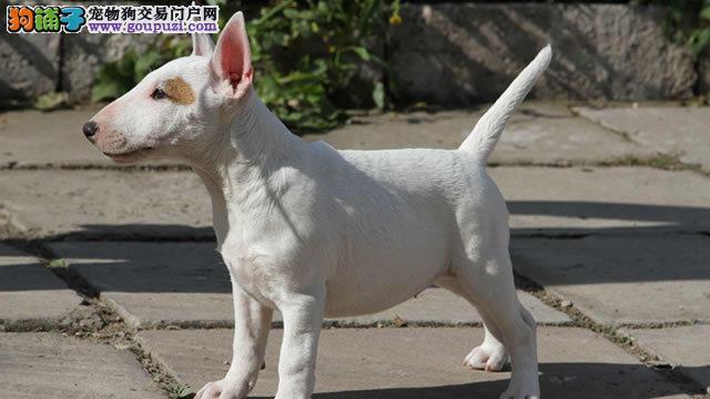 温州哪里有牛头梗犬出售的 温州纯种牛头梗多少钱一只