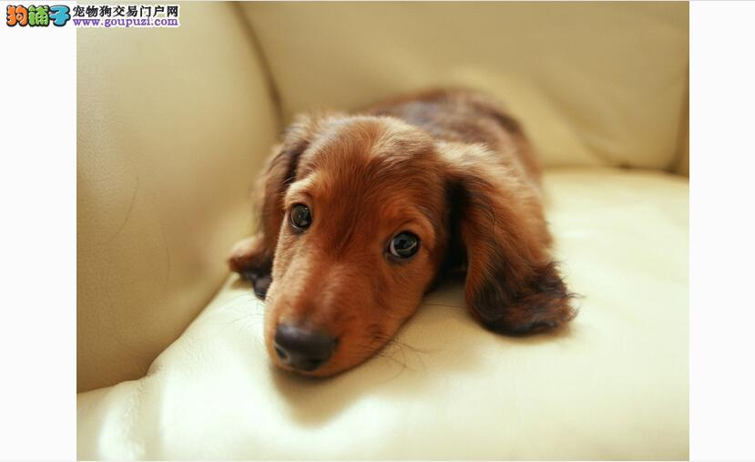 想要买到好的腊肠犬这篇文章一定要看