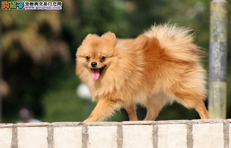 想要拥有一只聪明美丽的博美犬 要知道这几点