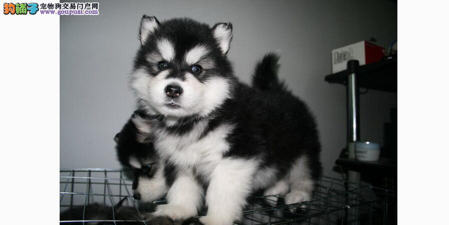 从体型和相貌判断优质的阿拉斯加犬