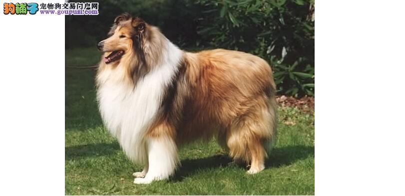 认识英系苏格兰牧羊犬