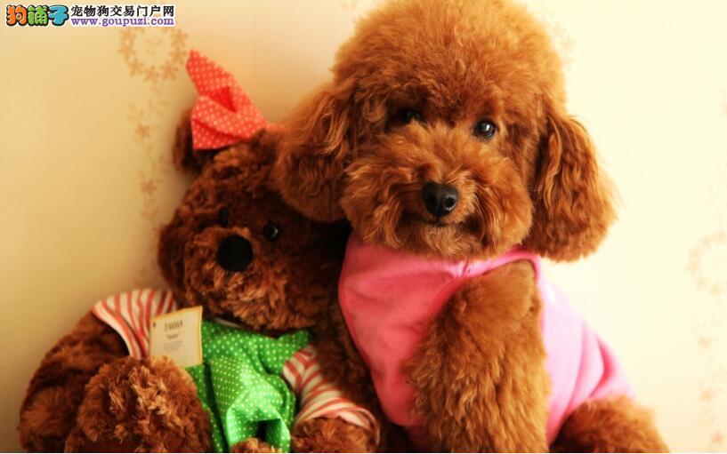 选购一只优质泰迪犬能给主人带来快乐
