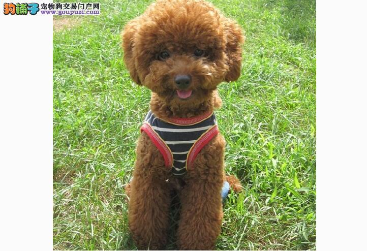 6个健康特征让你选购泰迪幼犬不烦恼