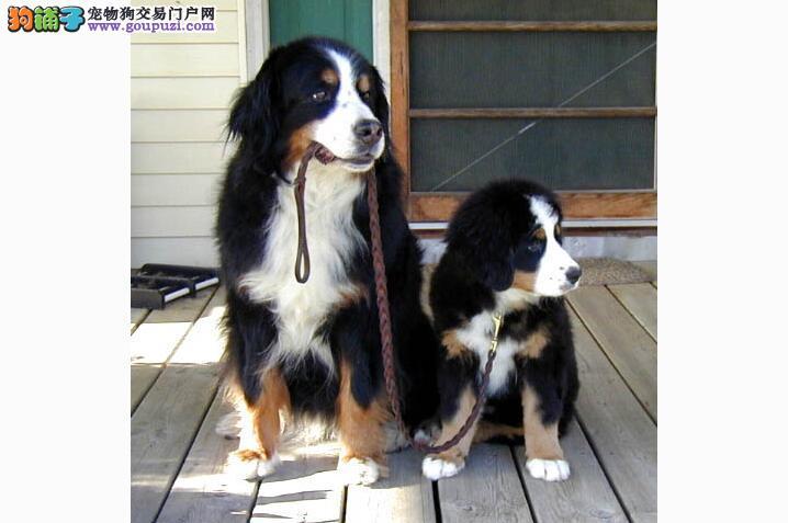 购买伯恩山犬 主人需要了解狗狗知识