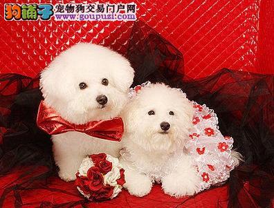 体型娇小的宠物狗—比熊犬