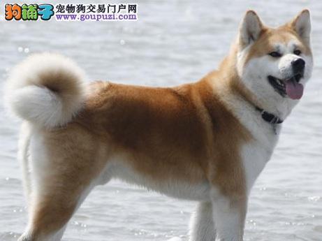 忠实的护卫——秋田犬