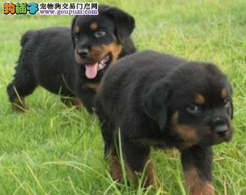 罗威纳犬认识及养护方法