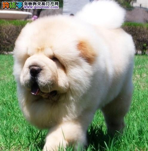 蓬松可爱的小型熊,松狮犬