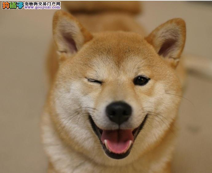 幸福的小柴犬,可爱的表情包制造者