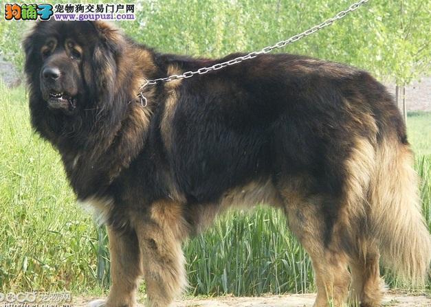 高加索犬的性格特点及饲养须知